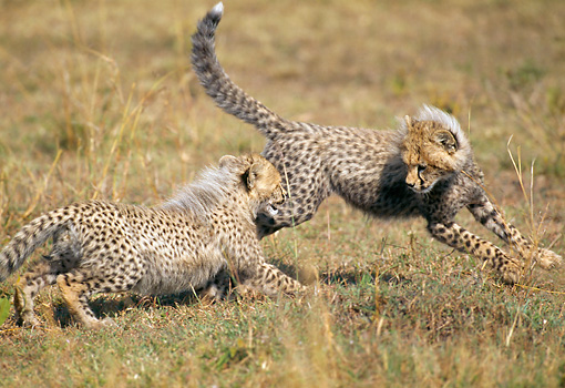 CHE 04 GL0002 01 © Kimball Stock Two Young Cheetahs Playing On Grass In Masai Mara, Kenya