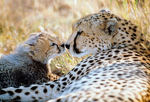 CHE 04 GL0003 01 © Kimball Stock Cheetah Mother And Cub Laying Nose To Nose On Grass