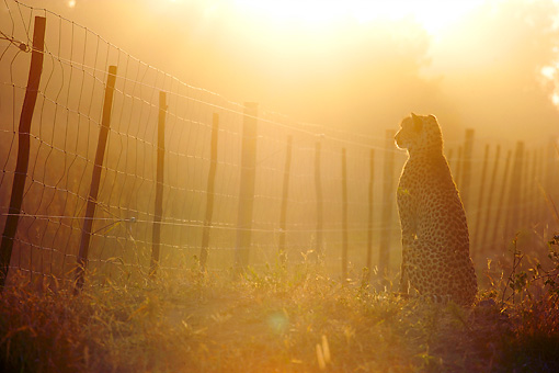 CHE 04 HP0005 01 © Kimball Stock Silhouette Of Cheetah Sitting By Fence At Sunrise Zululand, South Africa