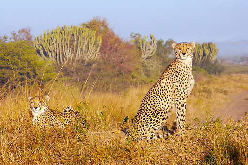 CHE 04 HP0009 01 © Kimball Stock Two Cheetahs In Savanna Zululand, South Africa