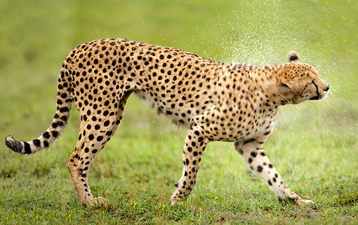 CHE 04 JZ0006 01 © Kimball Stock Cheetah Walking On Grass In Rain Kenya
