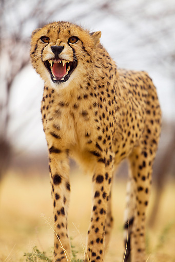 CHE 04 JZ0012 01 © Kimball Stock Close-Up Of Young Cheetah Standing On Savanna Growling Kenya