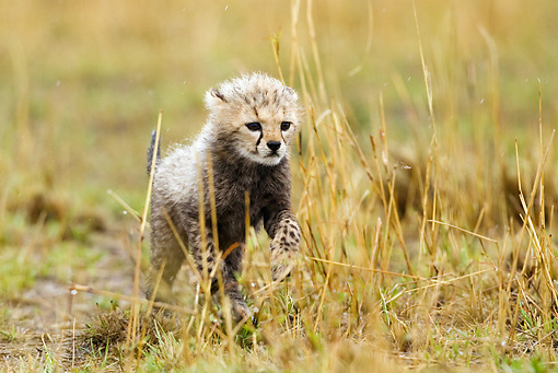 CHE 04 MC0003 01 © Kimball Stock Portrait Of Cheetah Cub Walking In Grass Kenya