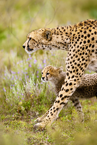 CHE 04 MC0004 01 © Kimball Stock Portrait Of Cheetah Mother Walking Through Grassland With Cub Tanzania