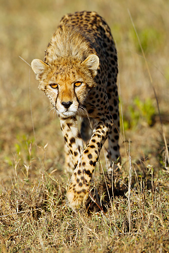CHE 04 MC0010 01 © Kimball Stock Cheetah Walking Through Savanna Tanzania