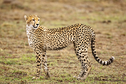 CHE 04 MC0014 01 © Kimball Stock Cheetah Standing On Grass Mara Triangle, Kenya