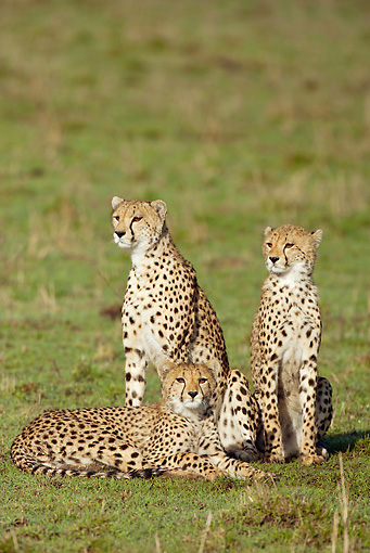 CHE 04 MC0015 01 © Kimball Stock Three Cheetahs Sitting In Grassland Masai Mara, Kenya