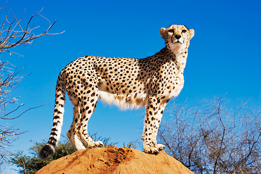 CHE 04 MH0002 01 © Kimball Stock Cheetah Standing On Rock
