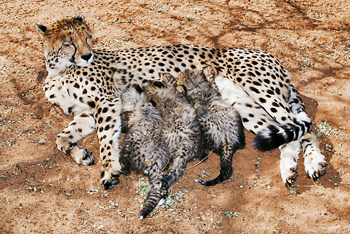 CHE 04 MH0006 01 © Kimball Stock Cheetah Mother Nursing Three Cubs