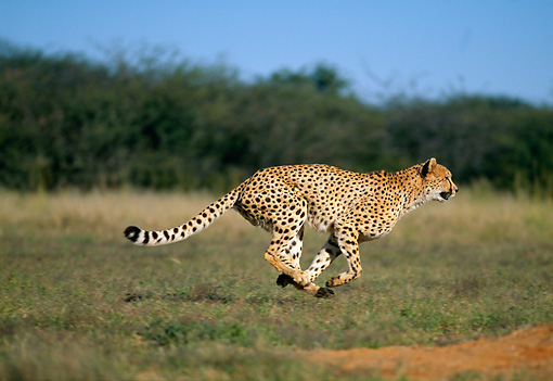 CHE 04 MH0013 01 © Kimball Stock Cheetah Running On Savanna Africa Profile