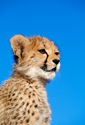 CHE 04 MH0026 01 © Kimball Stock Close-Up Of Cheetah Cub In Savanna Africa Profile