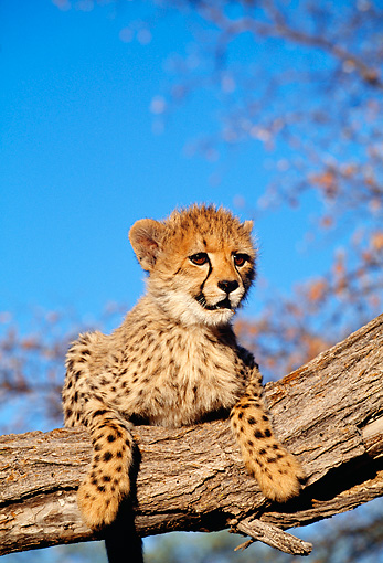 CHE 04 MH0027 01 © Kimball Stock Cheetah Cub Climbing On Log In Savanna Africa