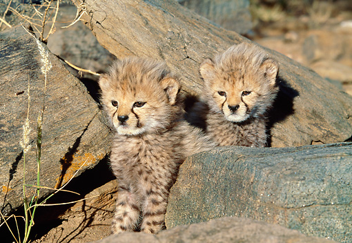 CHE 04 MH0032 01 © Kimball Stock Cheetah Cubs Sitting On Rocks In Savanna Africa