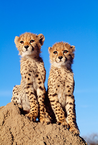 CHE 04 MH0034 01 © Kimball Stock Cheetah Cubs Sitting On Rock In Savanna Africa