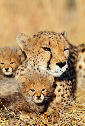 CHE 04 MH0037 01 © Kimball Stock Close-Up Of Cheetah Cubs And Mother Laying On Savanna Africa
