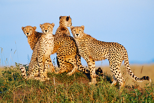 CHE 04 MH0038 01 © Kimball Stock Group Of Cheetahs Sitting And Standing On Savanna Africa
