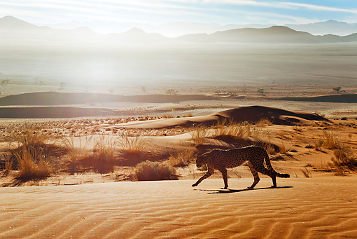 CHE 04 MH0039 01 © Kimball Stock Cheetah Walking On Sand In Desert Namibia
