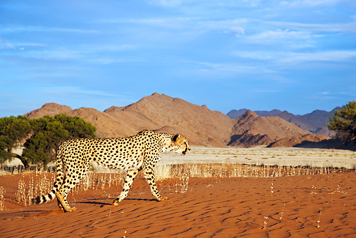 CHE 04 MH0040 01 © Kimball Stock Cheetah Walking On Sand In Desert Namibia