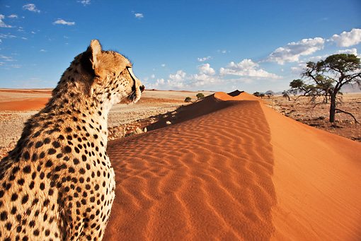 CHE 04 MH0044 01 © Kimball Stock Close-Up Of Cheetah Sitting On Sand In Desert Namibia