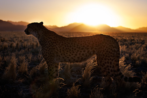 CHE 04 MH0045 01 © Kimball Stock Cheetah Standing In Grass At Sunset Namibia