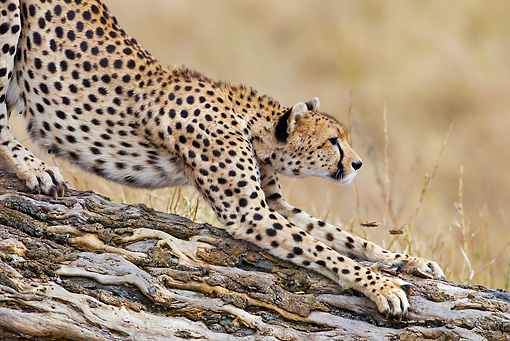 CHE 04 MH0047 01 © Kimball Stock Close-Up Of Cheetah Stretching On Log Kenya