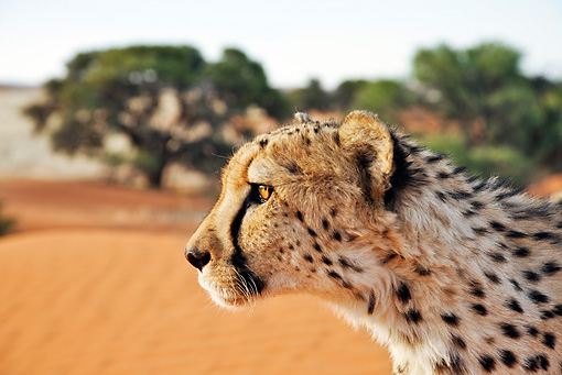 CHE 04 MH0050 01 © Kimball Stock Head Shot Of Cheetah Standing In Desert Namibia