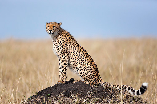 CHE 04 MH0054 01 © Kimball Stock Cheetah Sitting On Top Of A Termite Mound In Masai Mara National Park, Kenya