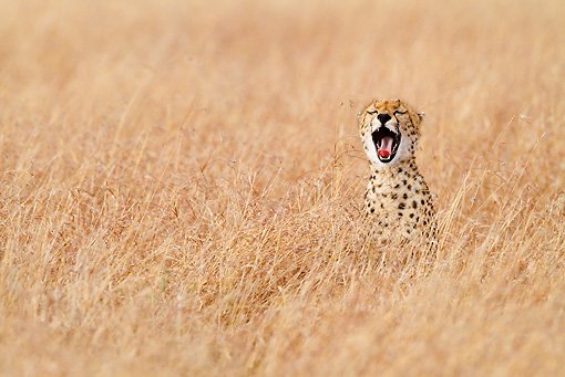 CHE 04 RW0015 01 © Kimball Stock Cheetah Yawning In Red Oat Grass Masai Mara National Reserve, Kenya