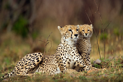 CHE 04 JZ0001 01 © Kimball Stock Mother Cheetah And Cub Laying On Grass