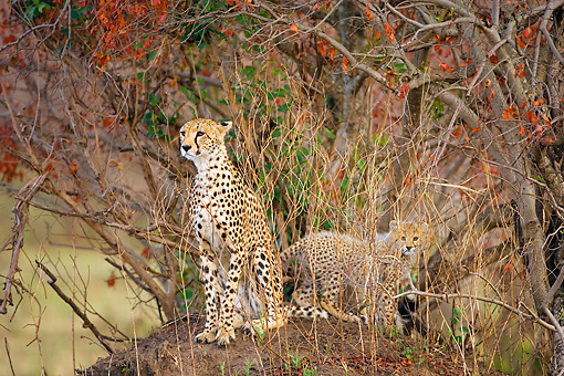 CHE 04 JZ0002 01 © Kimball Stock Mother Cheetah And Cub Sitting On Dirt Mound Hidden In Brush Kenya