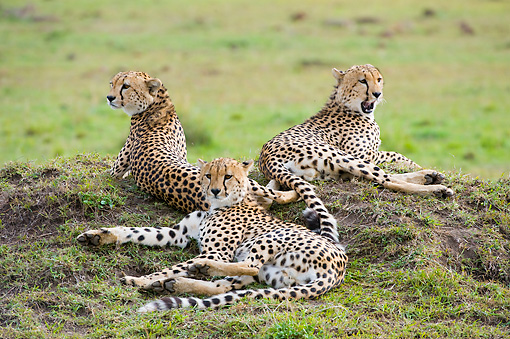 CHE 04 NE0007 01 © Kimball Stock Three Juvenile Cheetahs Laying On Savanna Kenya