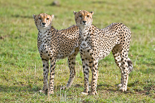 CHE 04 NE0012 01 © Kimball Stock Two Juvenile Cheetahs Standing In Grass On Savanna Kenya