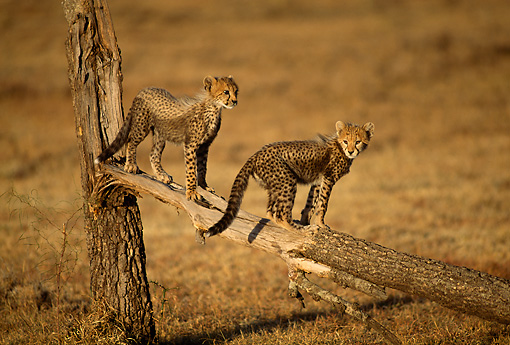 CHE 04 RW0002 01 © Kimball Stock Cheetah Cubs On Broken Tree