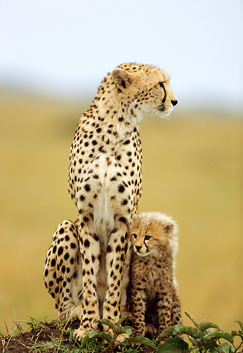 CHE 04 RW0006 01 © Kimball Stock Mother And Cub Cheetah Sitting On Dirt Mound Kenya