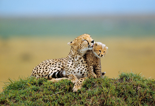 CHE 04 RW0008 01 © Kimball Stock Cheetah Mother And Cub Relaxing On Grass On Mound Kenya