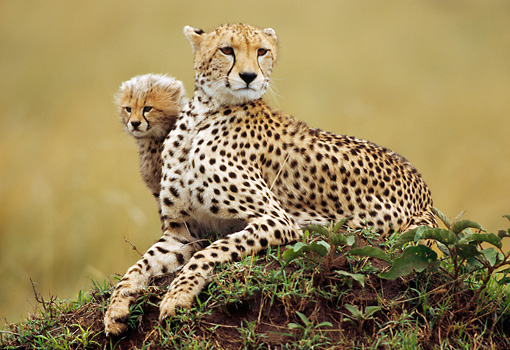 CHE 04 RW0009 01 © Kimball Stock Cheetah Mother And Cub Laying On Grass On Mound Kenya