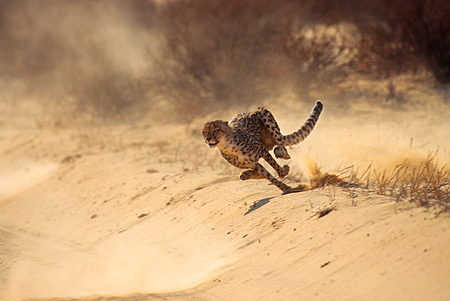 CHE 04 SM0030 01 © Kimball Stock Cheetah Running Across Sand South Africa