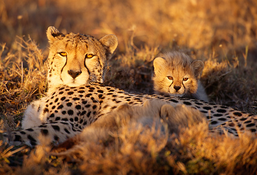 CHE 04 TL0001 01 © Kimball Stock Cheetah Mother And Cub Relaxing On Dry Grass Africa