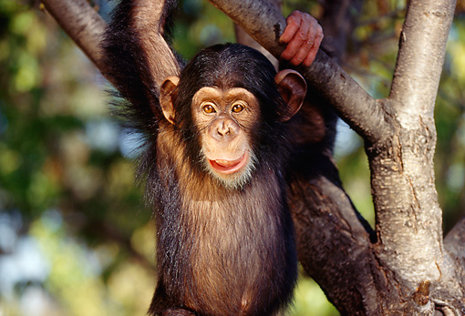 CHI 01 RK0035 03 © Kimball Stock Baby Chimpanzee Hanging From Tree Branch