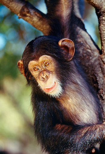 CHI 01 RK0035 05 © Kimball Stock Baby Chimpanzee Hanging From Tree Branch