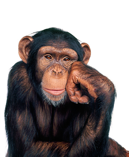 CHI 01 RK0042 01 © Kimball Stock Chimpanzee With One Hand On Side Of Face Facing Camera White Seamless