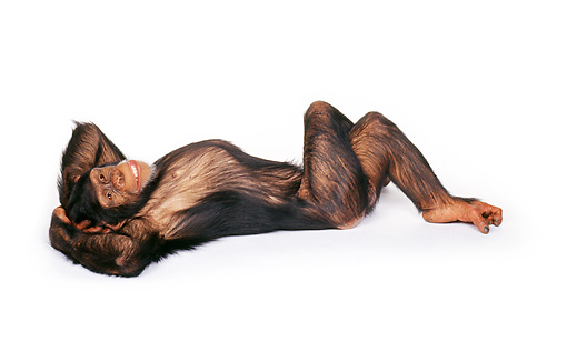 CHI 01 RK0061 01 © Kimball Stock Full Body Shot Of Chimpanzee Laying On White Seamless Background