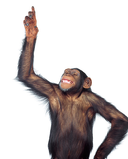 CHI 01 RK0085 02 © Kimball Stock Chimpanzee Pointing With Finger On White Seamless