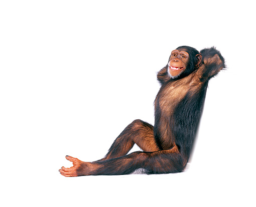 CHI 01 RK0098 14 © Kimball Stock Chimpanzee Leaning On White Seamless