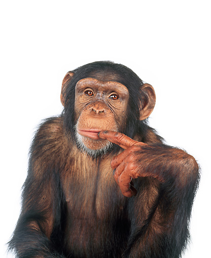 CHI 01 RK0099 13 © Kimball Stock Half Body Shot Of Chimpanzee Pointing At Head White Seamless