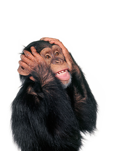 CHI 01 RK0106 16 © Kimball Stock Chimpanzee With Hands On Side Of Face On White Seamless