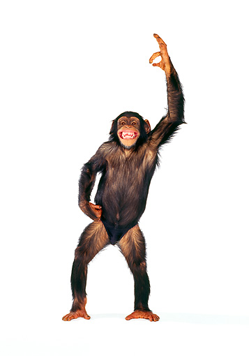 CHI 01 RK0121 19 © Kimball Stock Chimpanzee Eddie Standing On White Seamless With Arms Out