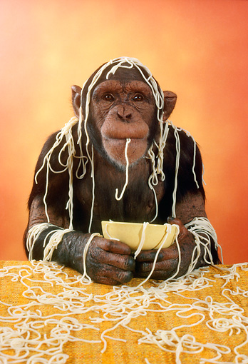 CHI 01 RC0002 01 © Kimball Stock Chimpanzee Eating Spaghetti