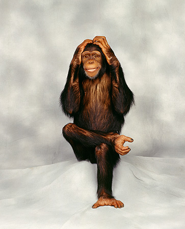 CHI 01 RK0005 01 © Kimball Stock Chimpanzee Sitting With Hands Over Ears Gray Mottled Background