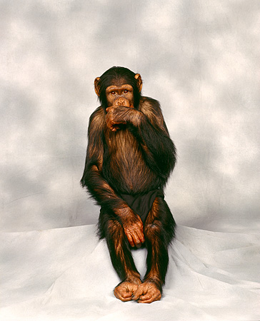 CHI 01 RK0007 09 © Kimball Stock Chimpanzee Sitting With Hand Over Mouth Gray Mottled Background